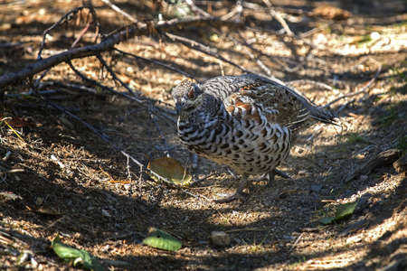 gamebird: Hazel grouse sitting on the ground closeup Stock Photo