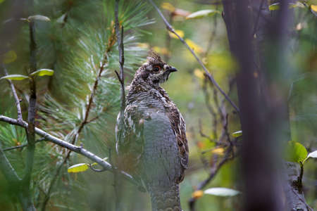 gamebird: variegated hazel grouse tufted sitting on branches in a dense forest