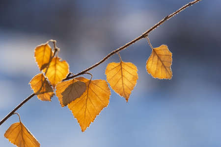 dry leaf: yellow autumn leaves on a blue background close-up