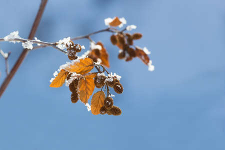 yellow alder: alder branch with yellow autumn leaves and bumps on a light blue background
