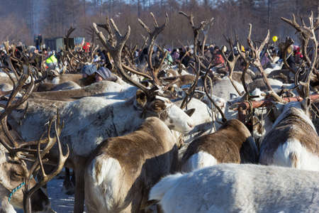 tightly: a herd of reindeer stand tightly with horns Stock Photo