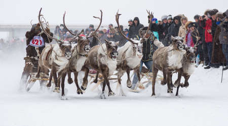 herder: Racing on reindeer during the celebration of the reindeer herder Stock Photo