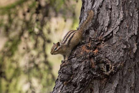 head down: chipmunk closeup head down on a tree trunk Stock Photo