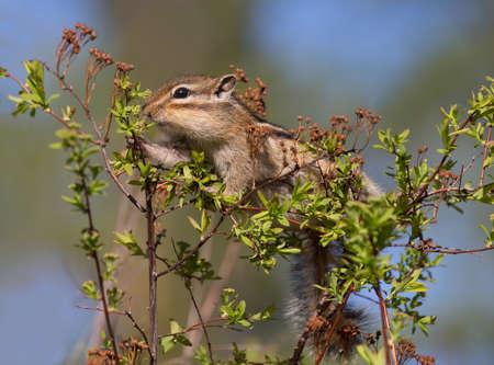 ardilla: Chipmunk que come las hojas j�venes en el primer de Bush