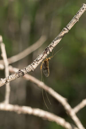 ephemera: mayfly with long tails sits on a branch