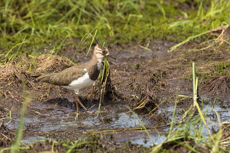 lapwing: pied lapwing walks on a swamp close up