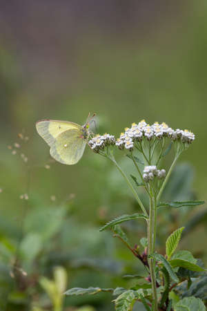 green butterfly: light green butterfly on white flowers with a blurred background Stock Photo