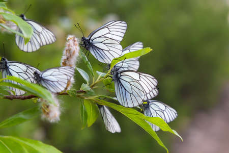 white butterflys on a branch with leaves on a blurred background