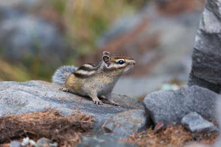 ardilla: esponjoso poco ardilla que se sienta en las rocas