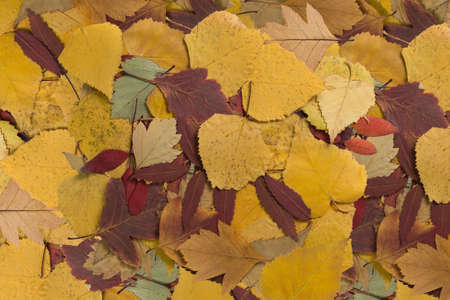 serrate: background with beautiful colorful autumn leaves close-up Stock Photo