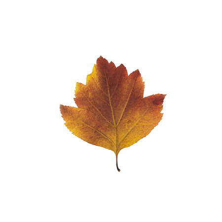 wizen: bright autumn leaves isolated on white close-up Stock Photo