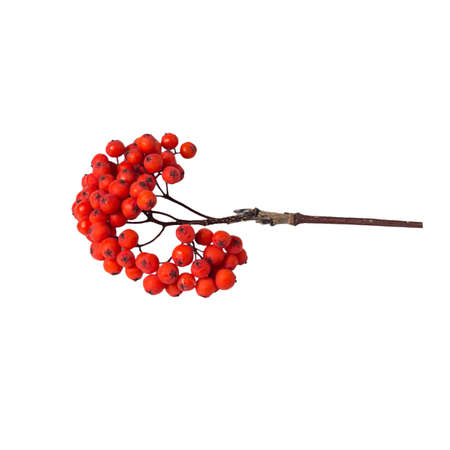 sorb: bunch rowan berries on a white background isolated