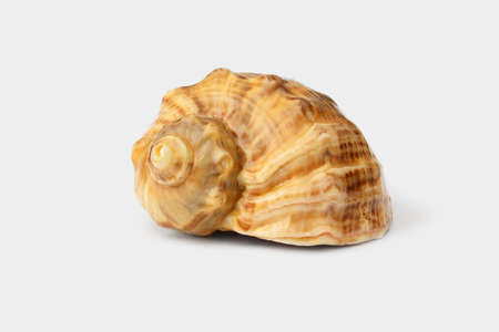 Brown shell of Black Sea rapana on white background Stock Photo