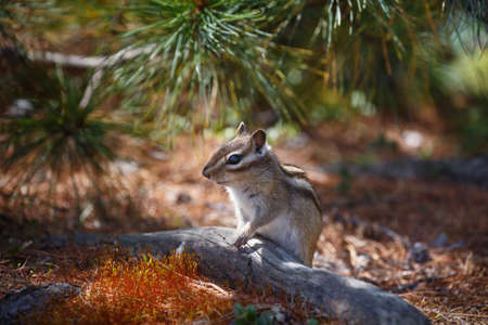 ardilla: Chipmunk sits near the tree trunk in a small clearing in the background of coniferous branches