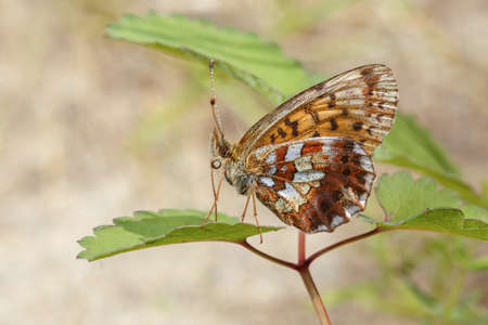 textured wall: Brown butterfly with spotted wings sitting on leaves close-up