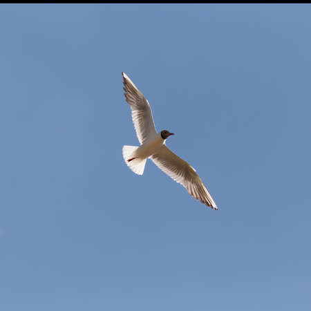 flying seagull close up against the blue sky