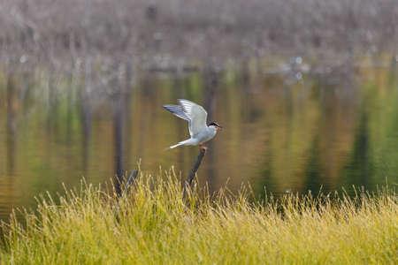 沼でアジサシは、離陸のためにその翼を広げる