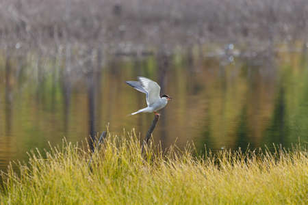 Tern in the swamp spreads its wings for takeoff