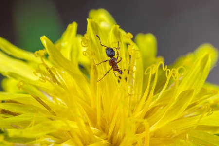 Small red ant in the flower of a dandelion macro Stock Photo