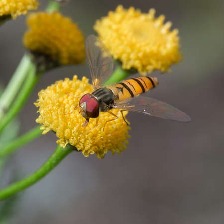 The fly Syrphidae  sits on the yellow flower. Macro Stock Photo