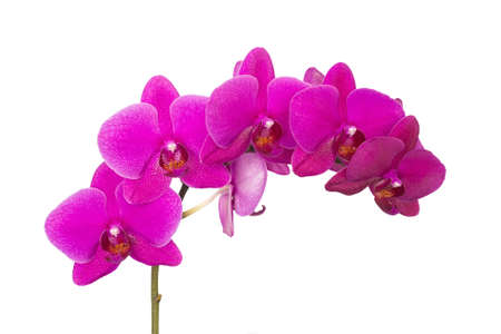 Orchid flower bunch of violet color on a white background isolated 写真素材