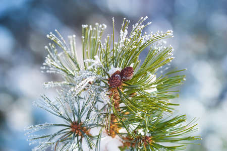Branch elfin cedar with cones, snow-capped, closeup on the blurry background. Stock Photo
