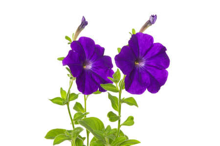 Two flowers of purple petunia on a white background