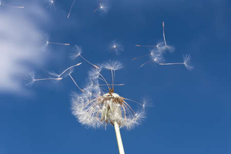 Dandelion with flying seeds against a blue sky