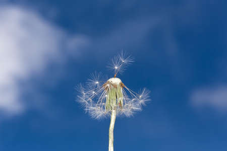 Fluffy dandelion on a background of blue sky with clouds