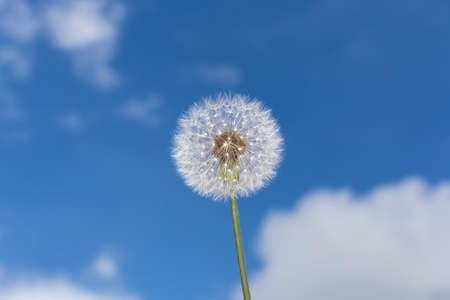 Fluffy round dandelion on a background of blue sky with clouds Stok Fotoğraf