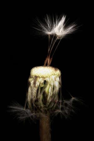 Dandelion flower with three seeds, on a black background, close-up. Soft focus. Stok Fotoğraf