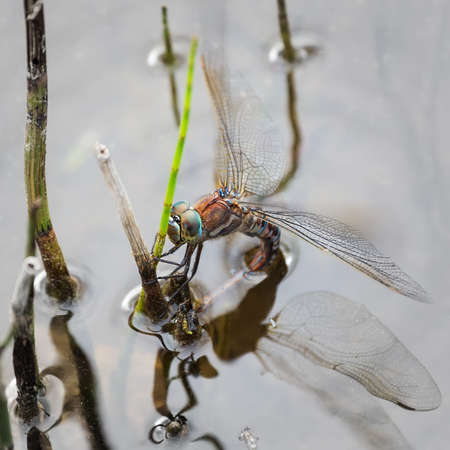 Dragonfly lays eggs on a twig in a pond. The process of reproduction. Wild nature.