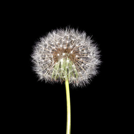 Dandelion on a thin green stalk on a black background