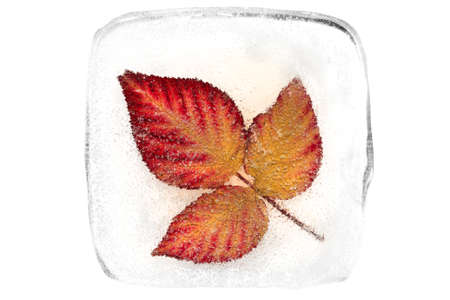 Red autumn leaves frozen in transparent ice on a white background.