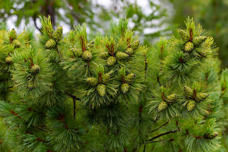 Green, unripe cones of dwarf cedar closeup. Gifts of the forest. Stock Photo