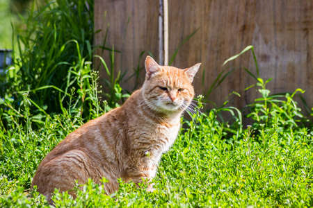 Orange cat with a funny serious face looking at the camera Stock Photo