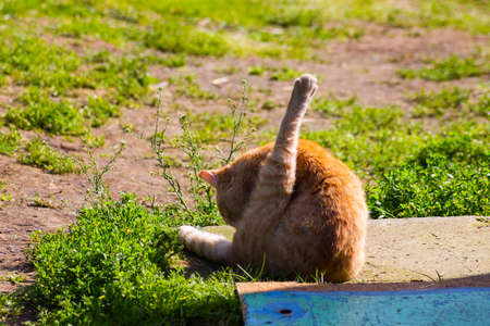 orange cat washing itself in sunny weather in green grass