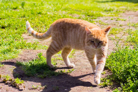 an orange cat in the grass in sunny weather Stock Photo