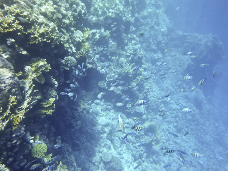 exoticism saltwater fish: fish and corals Red Sea