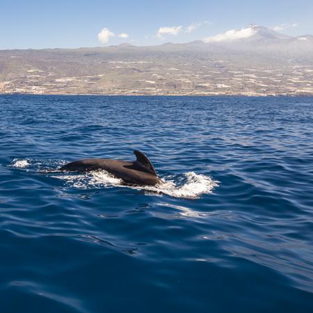 dolphins of Tenerife