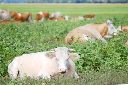 resting: Cows resting