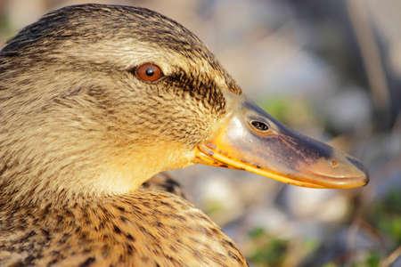 pato: Hembra del pato salvaje, retrato