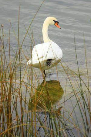 swans: Pose de cisne
