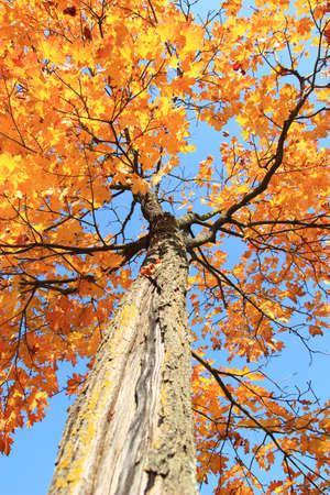 maple tree: Maple tree in fall
