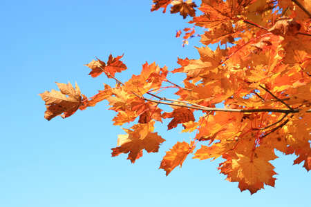 love life: Leaves of maple in autumn Stock Photo