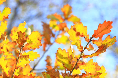 leafage: Oak leaves in fall
