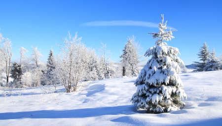 the pine tree: Snow covered pin trees