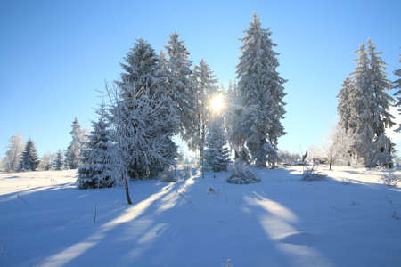 suns: Winter scene with pine trees and suns back light