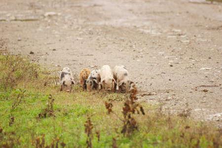 macadam: Piglets on the farm road Stock Photo