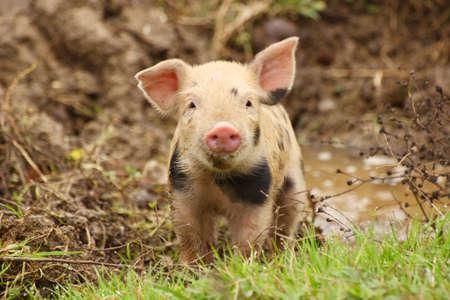 pig farm: Cute piglet on farm Stock Photo
